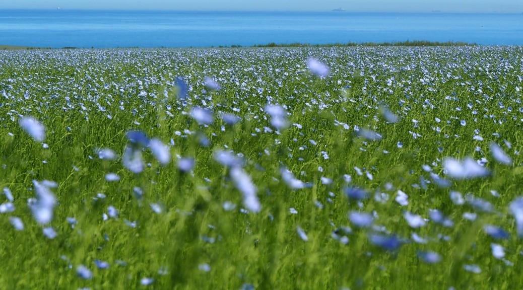 Blühendes Leinfeld bei Cap Gris Nez, Nordfrankreich